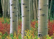 Tim Fitzharris - Aspen trunks, Colorado