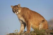 Tim Fitzharris - Mountain Lion North America