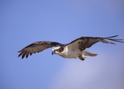 Tim Fitzharris - Osprey flying, North America