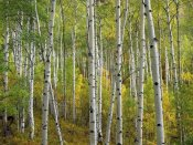 Tim Fitzharris - Aspen trees in fall, Colorado