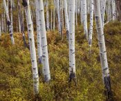 Tim Fitzharris - Quaking Aspen trees in autumn
