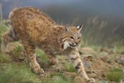 Tim Fitzharris - Bobcat stalking, North America