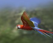 Tim Fitzharris - Scarlet Macaw flying, Costa Rica