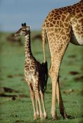 Tim Fitzharris - Giraffe mother with young, Kenya