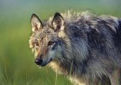 Tim Fitzharris - Gray Wolf, native to North America