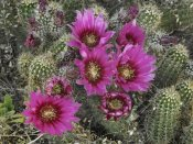Tim Fitzharris - Hedgehog Cactus flowering, Arizona
