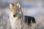 Tim Fitzharris - Timber Wolf portrait, North America
