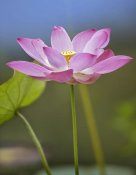 Tim Fitzharris - Sacred Lotus flower, native to Asia