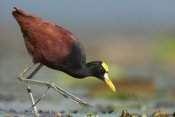 Tim Fitzharris - Northern Jacana foraging, Costa Rica