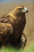 Tim Fitzharris - Golden Eagle portrait, North America