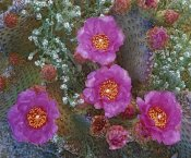 Tim Fitzharris - Beavertail Cactus flowering, Arizona