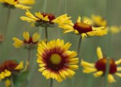 Tim Fitzharris - Indian Blanket flowers North America