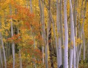 Tim Fitzharris - Aspens at Independence Pass, Colorado