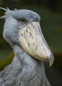 Tim Fitzharris - Shoebill, Jurong Bird Park, Singapore