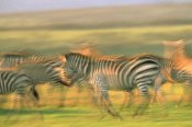 Tim Fitzharris - Burchell's Zebra group running, Kenya