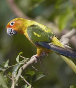 Tim Fitzharris - Sun Parakeet, native to South America