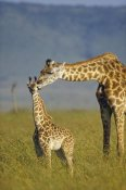 Tim Fitzharris - Masai Giraffe mother and young, Kenya