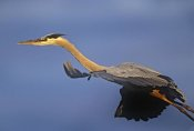 Tim Fitzharris - Great Blue Heron flying, North America