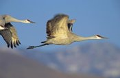 Tim Fitzharris - Sandhill Cranes flying, North American