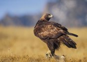 Tim Fitzharris - Golden Eagle on a snag, North American