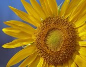 Tim Fitzharris - Common Sunflower flower, North America