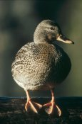 Tim Fitzharris - Mallard female portrait, North America