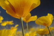 Tim Fitzharris - Mexican Golden Poppy detail, New Mexico