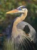 Tim Fitzharris - Great Blue Heron portrait, North America