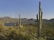 Tim Fitzharris - Saguaro cactus at Bartlett Lake, Arizona