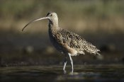 Tim Fitzharris - Long-billed Curlew wading, North America