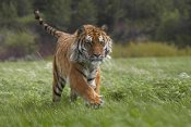 Tim Fitzharris - Siberian Tiger running, native to Russia