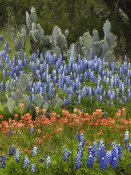 Tim Fitzharris - Bluebonnet and Pricky Pear cactus, Texas