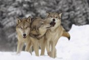 Tim Fitzharris - Timber Wolf trio playing in snow, Montana
