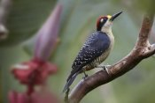 Tim Fitzharris - Black-cheeked Woodpecker male, Costa Rica