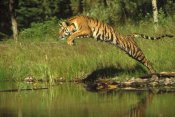Tim Fitzharris - Siberian Tiger leaping across river, Asia