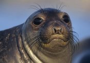 Tim Fitzharris - Northern Elephant Seal pup, North America