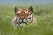 Tim Fitzharris - Siberian Tiger snarling, native to Russia