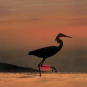 Tim Fitzharris - Little Egret silhouetted at sunset, Africa
