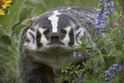 Tim Fitzharris - American Badger amid Lupine, North America