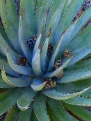 Tim Fitzharris - Agave plants with pine cones, North America