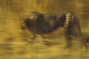 Tim Fitzharris - Cheetah running through dry grass, Zimbabwe
