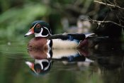 Tim Fitzharris - Wood Duck on water, British Columbia, Canada