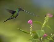 Tim Fitzharris - Sword-billed Hummingbird and insect, Ecuador