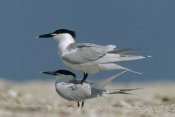 Tim Fitzharris - Sandwich Tern couple courting, North America