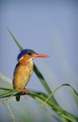 Tim Fitzharris - Malachite Kingfisher perching on reeds, Kenya