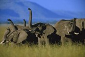 Tim Fitzharris - African Elephant herd sniffing the air, Kenya