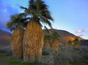Tim Fitzharris - Real Fan Palm Anza-Borrego Desert, California
