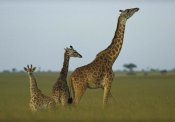 Tim Fitzharris - Giraffe adult and juveniles on savanna, Kenya