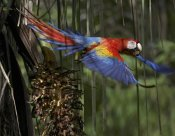 Tim Fitzharris - Scarlet Macaw flying with palm nut, Costa Rica