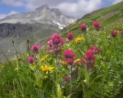 Tim Fitzharris - Paintbrush flowers, Yankee Boy Basin, Colorado